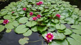 Water Lily, Pond, Pink, Bloom Royalty Free Stock Photography