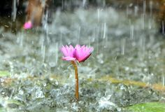 Water lily in the pond with rain drops Stock Photos