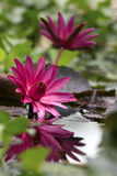 Water lily in pond Stock Photos
