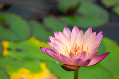 Water Lily in pond with reflection Royalty Free Stock Photo