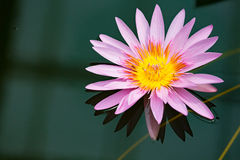 Water Lily in pond with reflection Royalty Free Stock Photography