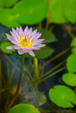 Water Lily in pond with reflection Stock Image