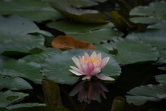 Water Lily on Pond with Reflection 4 Stock Photos