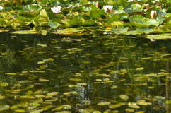 Water lily in pond Stock Image