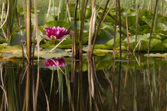 Water lily in pond Stock Photography