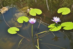 Water lily in pond. Two purple and white water lily in a pond on Jamaica in the Caribbean stock photo