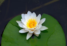 Water lily on pond Royalty Free Stock Photography