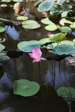 Water lily in pond. A water lily in a pond in Vietnam stock photography