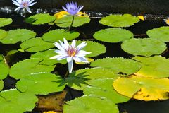 Water lily in a pond Royalty Free Stock Photo
