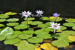 Water lily in a pond Stock Images