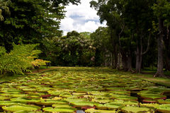 Water Lily Pool. Exotic amazonian water lily pool at the pamplemousse botanical garden in mauritius Stock Photo