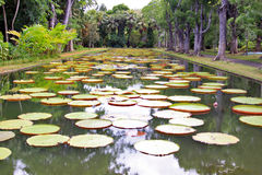 Water lily pool Stock Image
