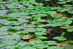 Water lily in pool. Water lily and green lotus leaf in thai style pool. this place is in east of thailand Stock Photos