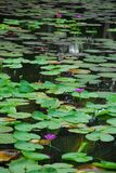 Water lily in pool. They are water lily in a large pool. this place is in east of thailand Stock Photography