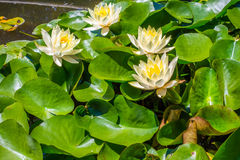 Water lily in pool of water Royalty Free Stock Photography