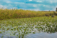 Water Lily Pool of Yarkon National Park - pond full of yellow water lilies (Nuphar lutea) Royalty Free Stock Photo