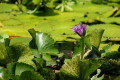 Water Lily Purple Stock Image