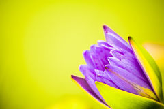 Water lily. Purple water lily close up Royalty Free Stock Photos
