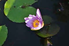 Water lily. Purple water lily with pad, in pond on Jamaica royalty free stock photo