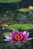 Water Lily in the Rain. The water lily really stands out in the melancholy of the rain Stock Images