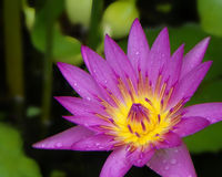 Water Lily with Rain Drops Stock Images