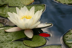 Water lily red petal II Royalty Free Stock Photo