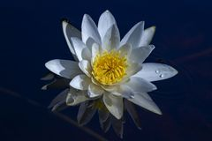 Water lily reflected in blue water. White water lily reflected in blue water in sunny day stock photos