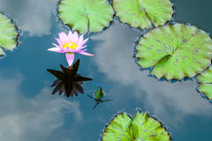 Water Lily. Reflected in the water with three dragon flies near by Stock Photos