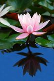 Water Lily Reflection Royalty Free Stock Photography