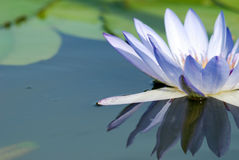Water Lily Reflection Stock Images