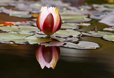 Water Lily reflection. Reflection of water lily in calm garden pond Stock Photos
