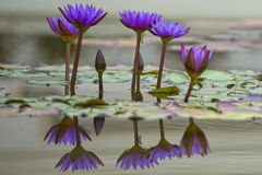 Water Lily reflection Stock Photography