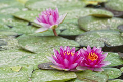 Water Lily reflection Royalty Free Stock Photos