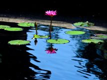 Water lily reflection royalty free stock photo