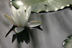 Water lily reflection Stock Photo