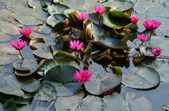 Water lily. Rich pink water lily Royalty Free Stock Images