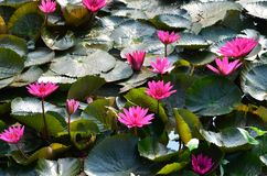 Water lily. Rich pink water lily in Thailand Royalty Free Stock Images