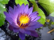 Water lily. Rich purple water lily Royalty Free Stock Image