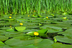 Water lily on the river Dnieper. Blossoming Water-lily Stock Photos
