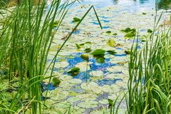 Water lily. In river from Serbia stock photography