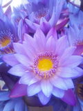 Water lily. It& x27;s the famous water lily flower Stock Image