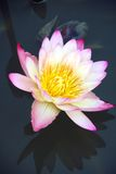 Water lily and it's reflection. Tropical water lily in a pond Stock Photo