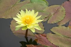 Water lily and it's reflection. Tropical water lily in a pond Stock Photos