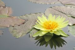Water lily and it's reflection. Tropical water lily in a pond Royalty Free Stock Images