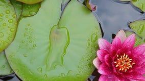 Water lily Seeregentropfen hd Gesamtlänge niemand stock video