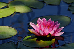 Water lily Royalty Free Stock Photos