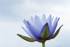 Water Lily with sky Stock Photo