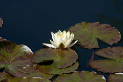 Water lily. At the sommer Day stock images