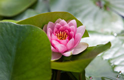 Water Lily, South Africa Royalty Free Stock Photo