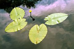 Water lily, spatter-dock, nenuphar in water. Yellow water lily spatter-dock among green leaves in the pond Royalty Free Stock Photo